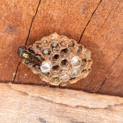 Paulistinha wasp (Polybia paulista). This species gained international prominence when scientists discovered in its venom the substance MP1, which has high power to damage cancer cells.