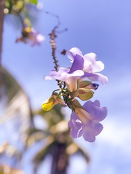 Paulownia Tomentosa is a spectacular tree. The flowers are hermaphrodite, tubular, fragrant, pendant, lilac in color and similar in shape to foxglove flowers (Digitalis purpurea). 01-03-21.