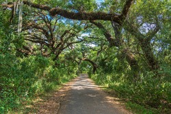 Paved pathway through southern live oak trees (Quercus virginiana) at Pine Island Ridge Natural Area - Davie, Florida, USA