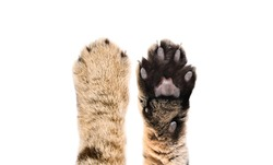 Paws of a cat Scottish Straight, closeup, top and bottom view, isolated on white background