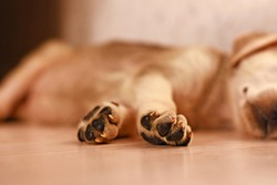 paws of a cute little puppy who sleeps on the floor. High quality photo