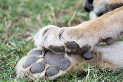 Paws of a lion lying relaxed in the shade, Serengeti National Park, Tanzania, Africa.