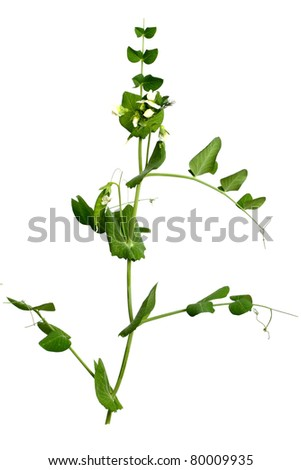 Pea plant isolated on white background