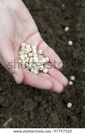 pea planting in the soil