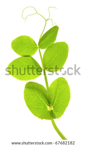 Pea seedling isolated on white