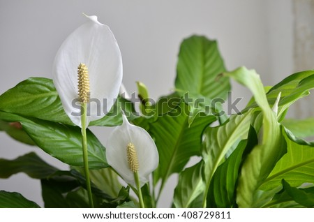 peace lily flower #408729811