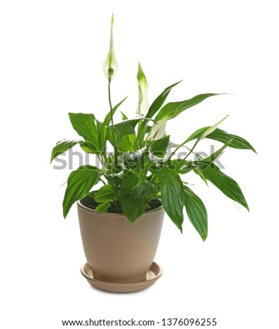 Peace lily in pot isolated on white #1376096255
