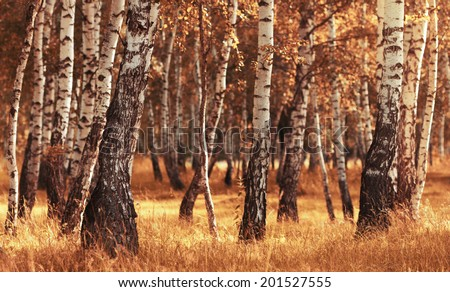 Peaceful birch forest in sunny afternoon while autumn season