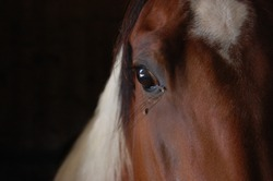 Peaceful horse staying still looking calmly/Calm stallion waiting in the stable/Eye detail of a calm horse
