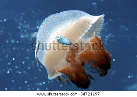 Peaceful image of a mosaic jellyfish.