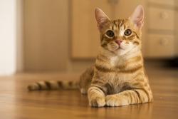 Peaceful orange red tabby cat male kitten
