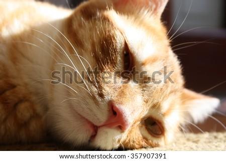 Peaceful orange red tabby cat male kitten curled up sleeping.