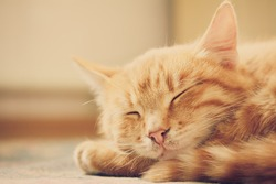Peaceful orange red tabby cat male kitten curled up sleeping. White background