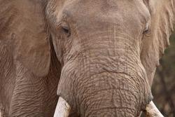 Peaceful Trailing Giant Elephant