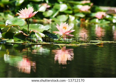 Peaceful water lily on a calm Louisiana bayou