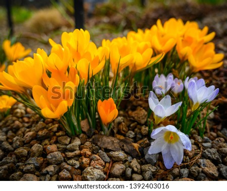 Peaceful Yellow and White Crocuses Peeking up through the rocky ground in St. Louis, MO