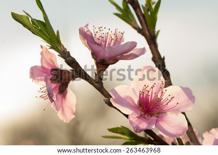stock-photo-peach-blooms-backlit-by-late-evening-rays-of-sun-263463968.jpg