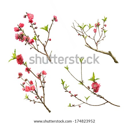 Peach blossom flower collection isolated on white background #174823952