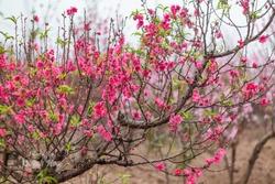 Peach blossom (Hoa Dao Tet vietnam) Close up Peach Blossoms Pink flowers, natural background