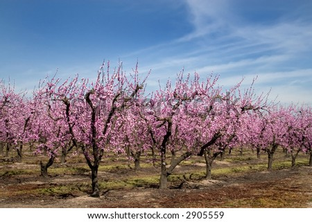 Peach blossoms in an orchard.