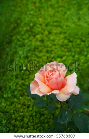 Peach colored Rose on soft focus green Hedge bush