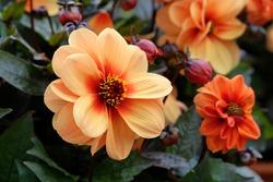Peach dahlia 'Dreamy Eyes'  in flower