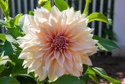 Peach dahlia flower in a garden