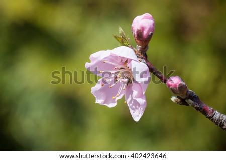 Peach flower Zdjęcia stock ©
