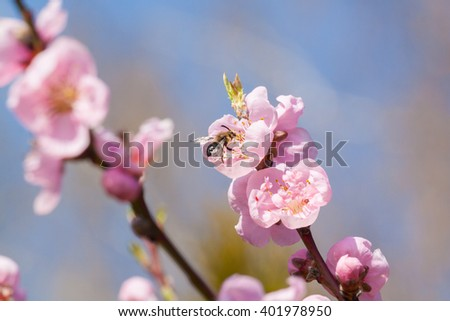 Peach flower and bee Zdjęcia stock ©