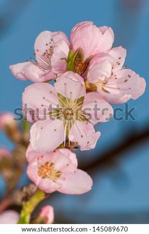 peach flower on blue sky