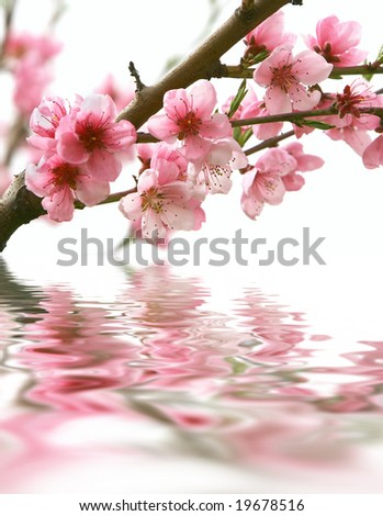 peach flowers and reflection over white