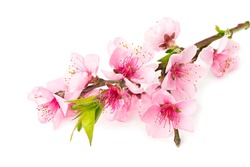 peach flowers isolated on white background. spring flowers.