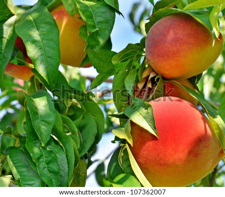 Peach on branch