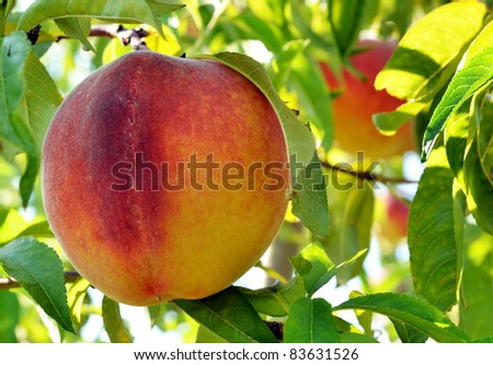 Peach on branch