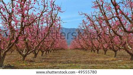 Peach orchard in the Mojave Desert.
