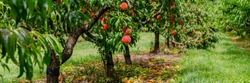 Peach orchard with ripe red peaches. Colorful fruits on tree ready to harvesting, banner
