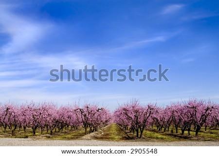 Peach trees in bloom.