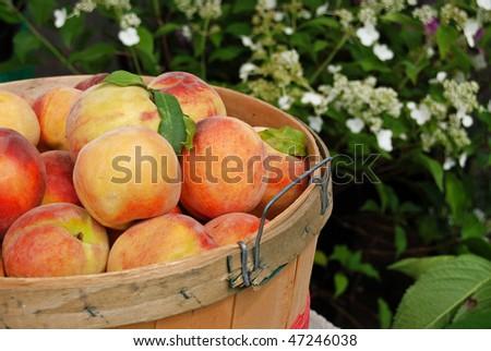 peaches in bushel basket