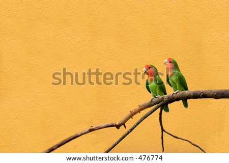 Peachfaced lovebirds on a branch against a light terracotta background