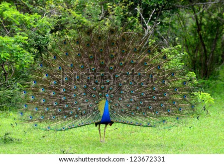 peacock. A bird in the wild. The national Park of Sri Lanka