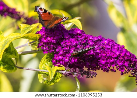 Peacock and Red Admiral Butterflies on Buddleia