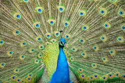 peacock bird close up portrait