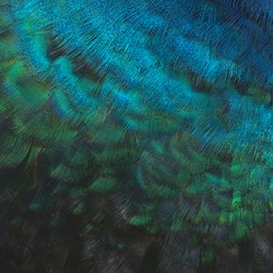 Peacock bird's feathers in the close up details,Green peafowl