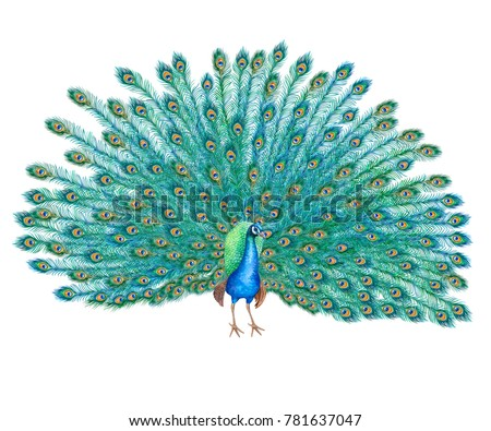 Peacock bird with lush tail isolated on white background. Watercolor. Illustration. Clip-art. Handmade