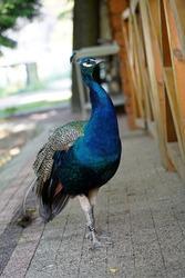 Peacock blue, peacock ordinary Pavo cristatus . Beautiful peacock walking freely.