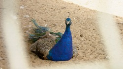 Peacock, bluebird, peacock tail, fire bird, farm, feathers, blue feathers, large feathers, handsome male, peacock dance, blue peacock