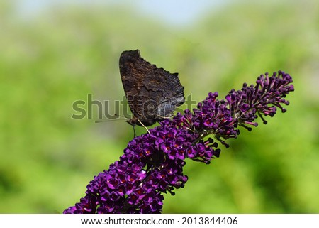 Peacock butterfly (Aglais io, Inachis io), family Nymphalidae with folded wings on flowers of a summer lilac (Buddleja davidii). Dutch garden, summer, July.                                  Stock photo ©