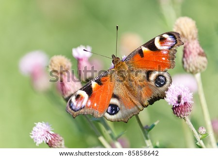 Peacock butterfly on a thistle flower (silybum marianum) in the green field