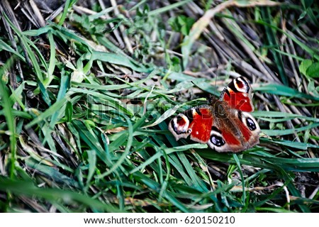 Peacock butterfly sitting on grass.  Stock photo ©