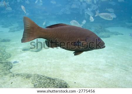 Peacock Cod (Cephalopholis argus) in open tropical water #2775456